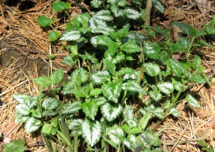 Photo of Ajuga