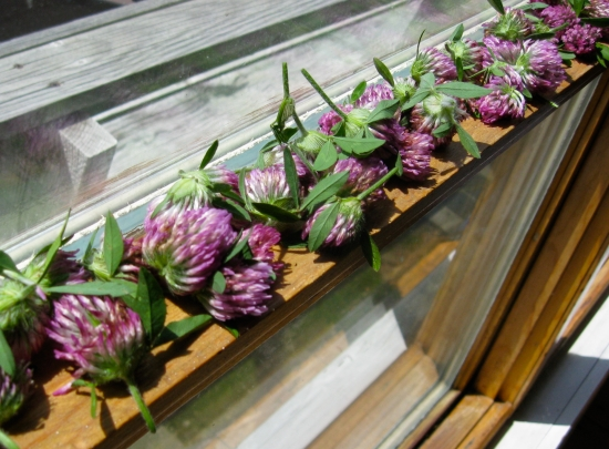 Photo of Red Clover Drying