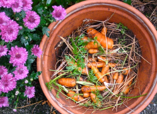 Last Harvest of Carrots