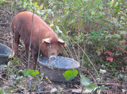 Photo of Pig Eating