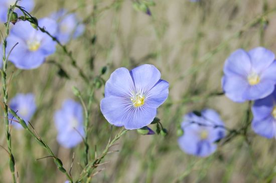 Photo of Flax Flowers