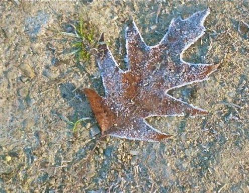 Frosty Oak Leaf
